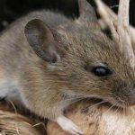 Ученые получили потомство от мышей с помощью 3D-принтера