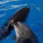 Дельфины привлекают самок подарками – ученые