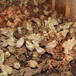 «Комиэнерго» добавило мощности перепелиной ферме в Корткеросе