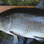 Ученые нашли старейшую пресноводную рыбу