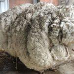 Самая известная овца умерла в Австралии