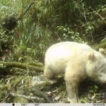 Панду-альбиноса впервые сняли в дикой природе