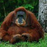 Биологам удалось расшифровать язык орангутангов