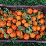 Украина нарастила импорт мандаринов на 10%