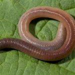 Продолжение жизни червей поможет понять процесс старения у людей