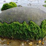 Найдена древнейшая водоросль возрастом миллиард лет