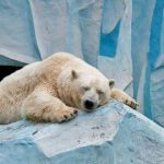 Минприроды пересчитает всех белых медведей на территории России