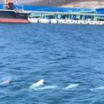 К причалам угольного стивидора «Восточный Порт» в бухте Врангеля вернулись дельфины