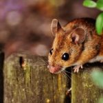 """Стало известно, когда появились """"домашние"""" мыши"""