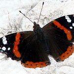 Американские ученые узнали причину неуязвимости бабочек под дождем