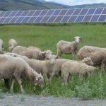На Алтае внедряют агровольтаику: овцы выщипывают траву на полянах солнечных электростанций