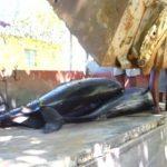 Маврикий охвачен протестами из-за гибели 40 дельфинов после разлива нефти с сухогруза Wakashio