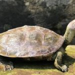 """Редкие """"улыбающиеся"""" черепахи спасены от вымирания"""