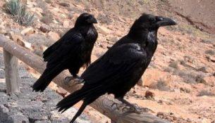Вороны птицы