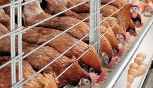 птицефабрика курица