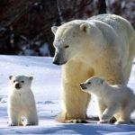 «Роснефть» в 2021 году продолжит финансирование экспедиций по изучению поведения белых медведей
