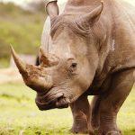 Росатом спасет носорогов с помощью ядерных технологий