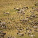Учёные при поддержке «Роснефти» изучают популяцию оленей на Таймыре